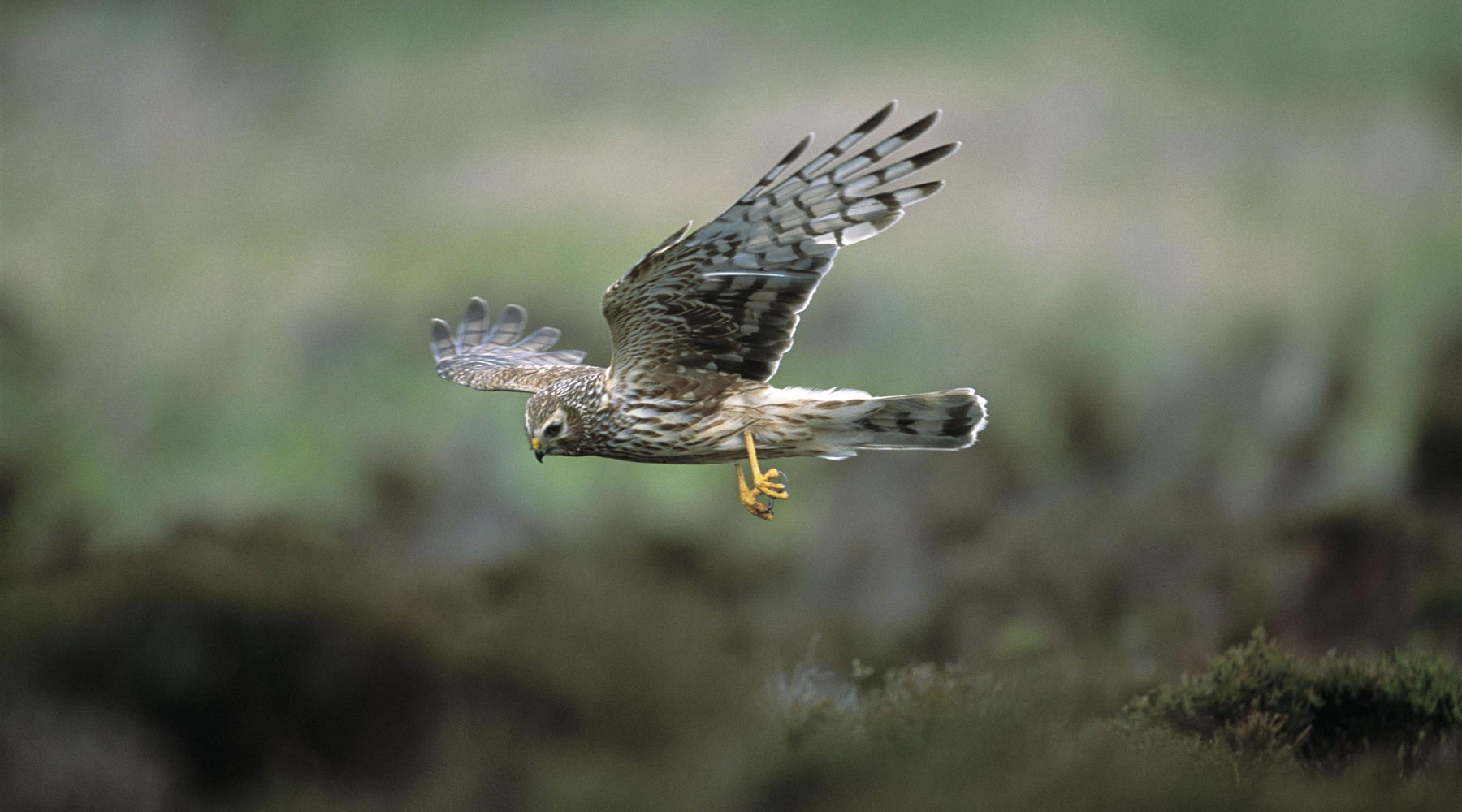 Andy Hay (rspb-images.com) | Hen Harrier