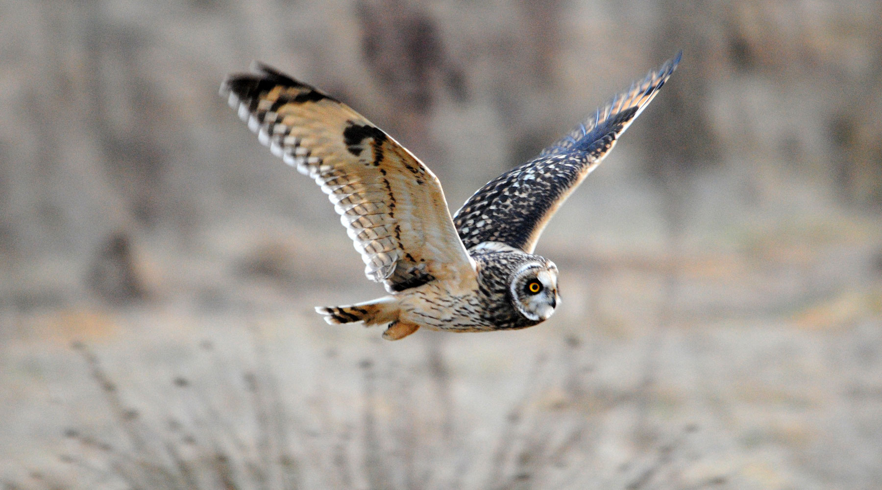 Amy Lew | Short Eared Owl