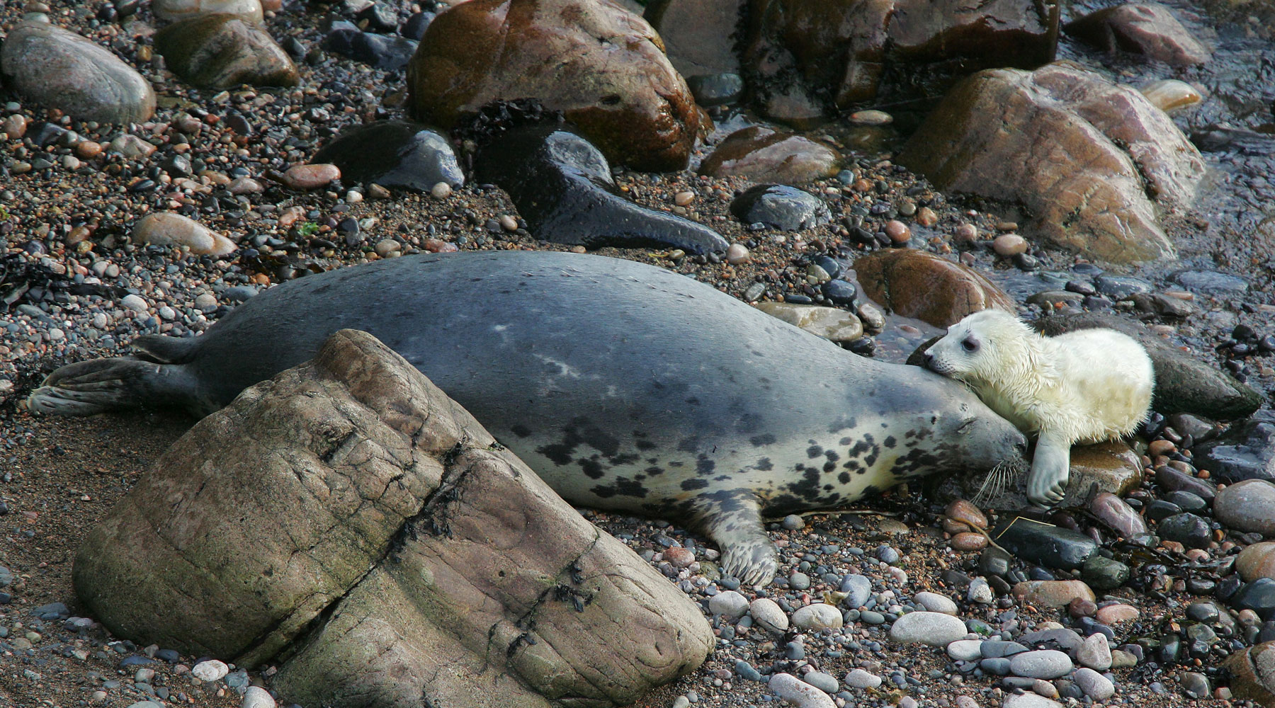 L Maiden | Grey Seal With Pup