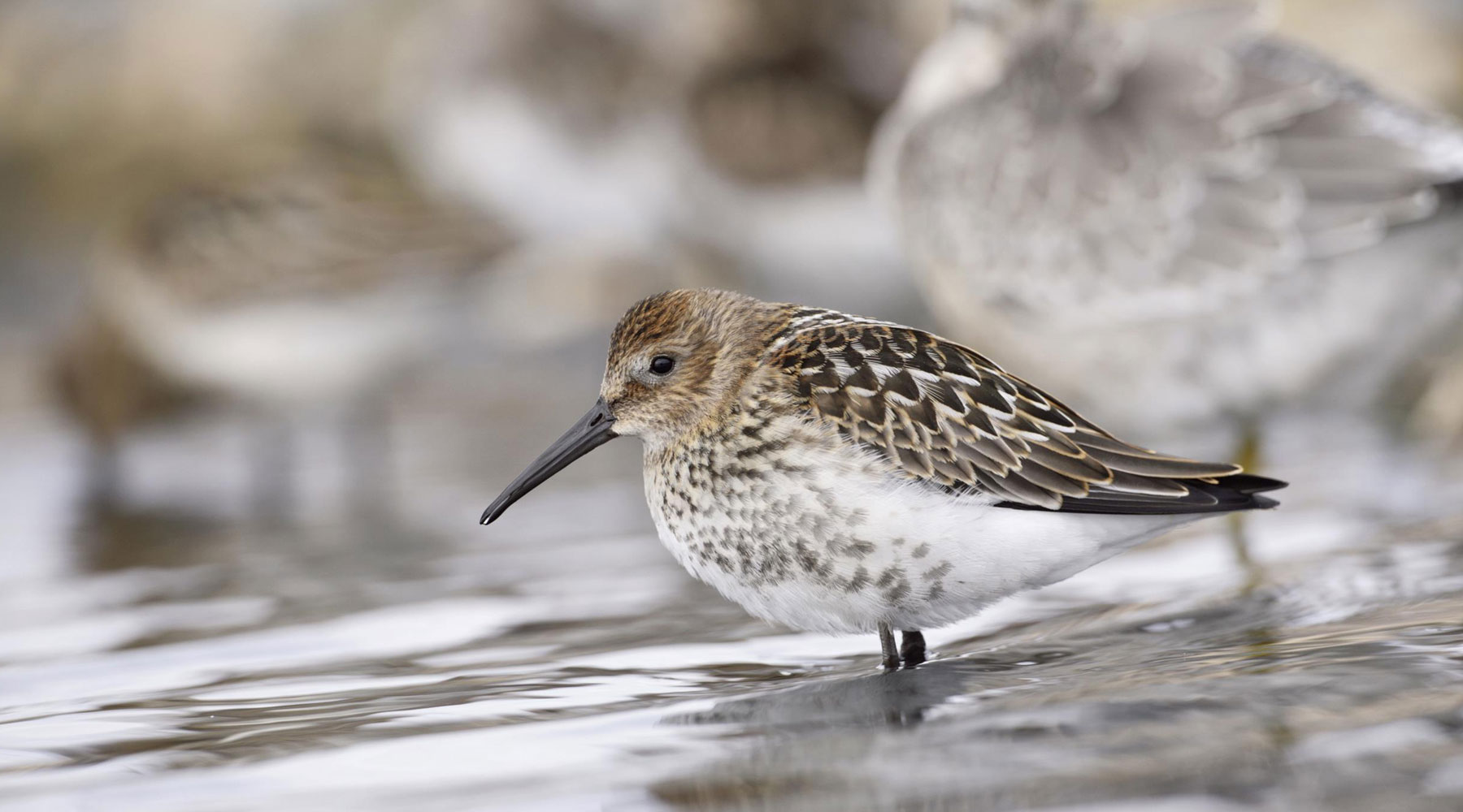 Andy Hay (rspb-images.com) | Dunlin