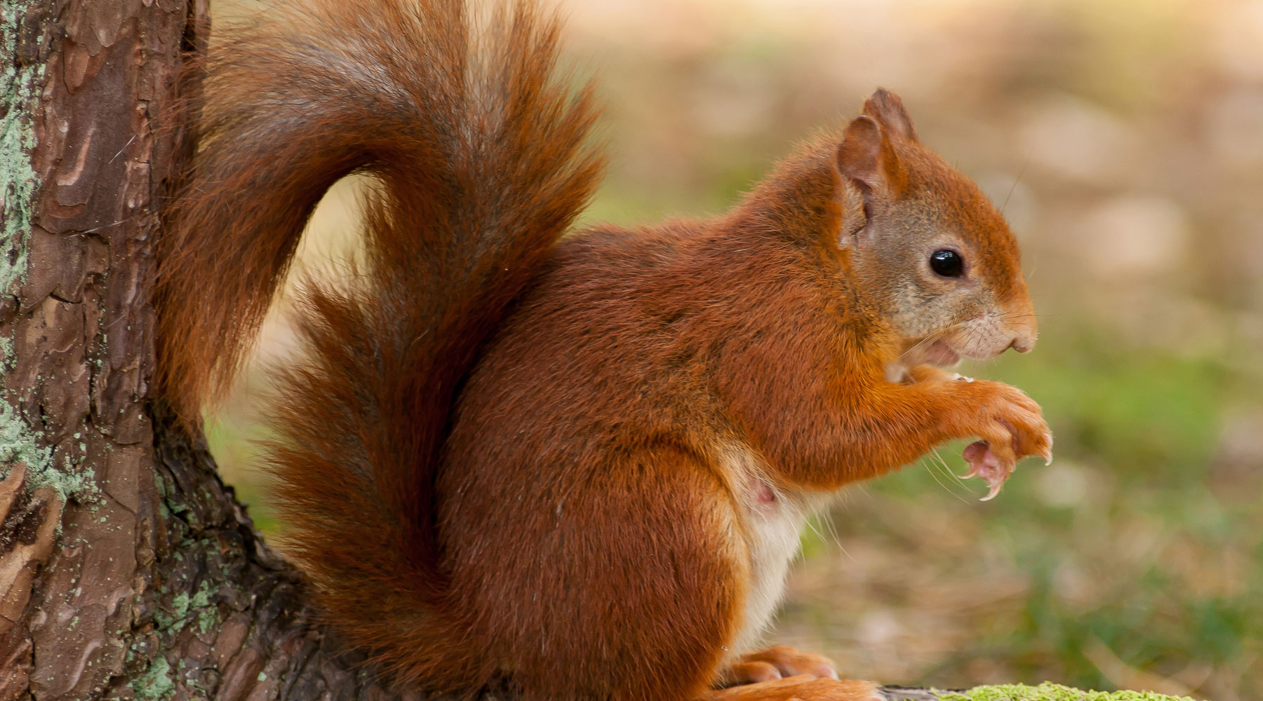 Mike Snelle | Red Squirrel