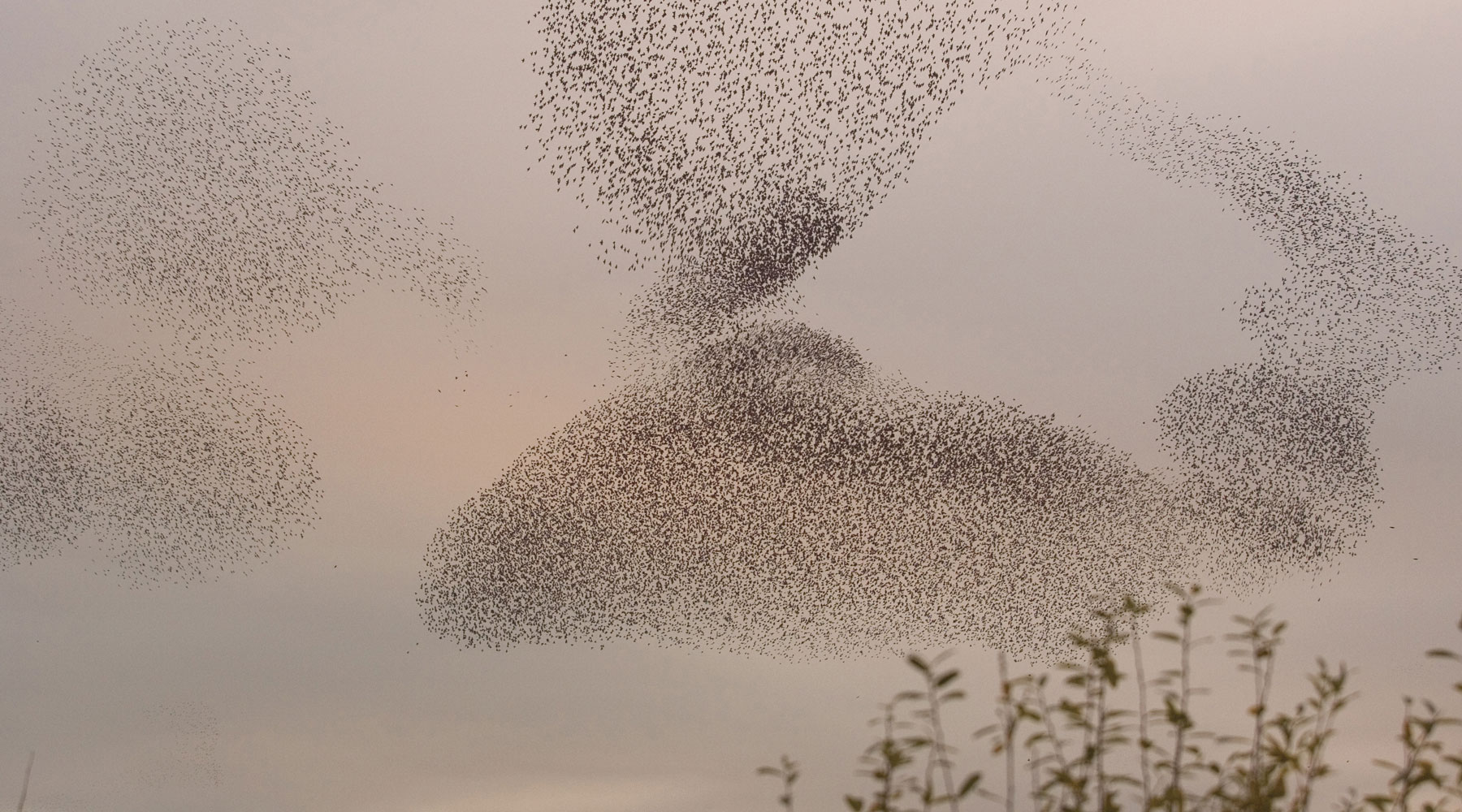 David Kjaer (rspb-images.com) | Starlings