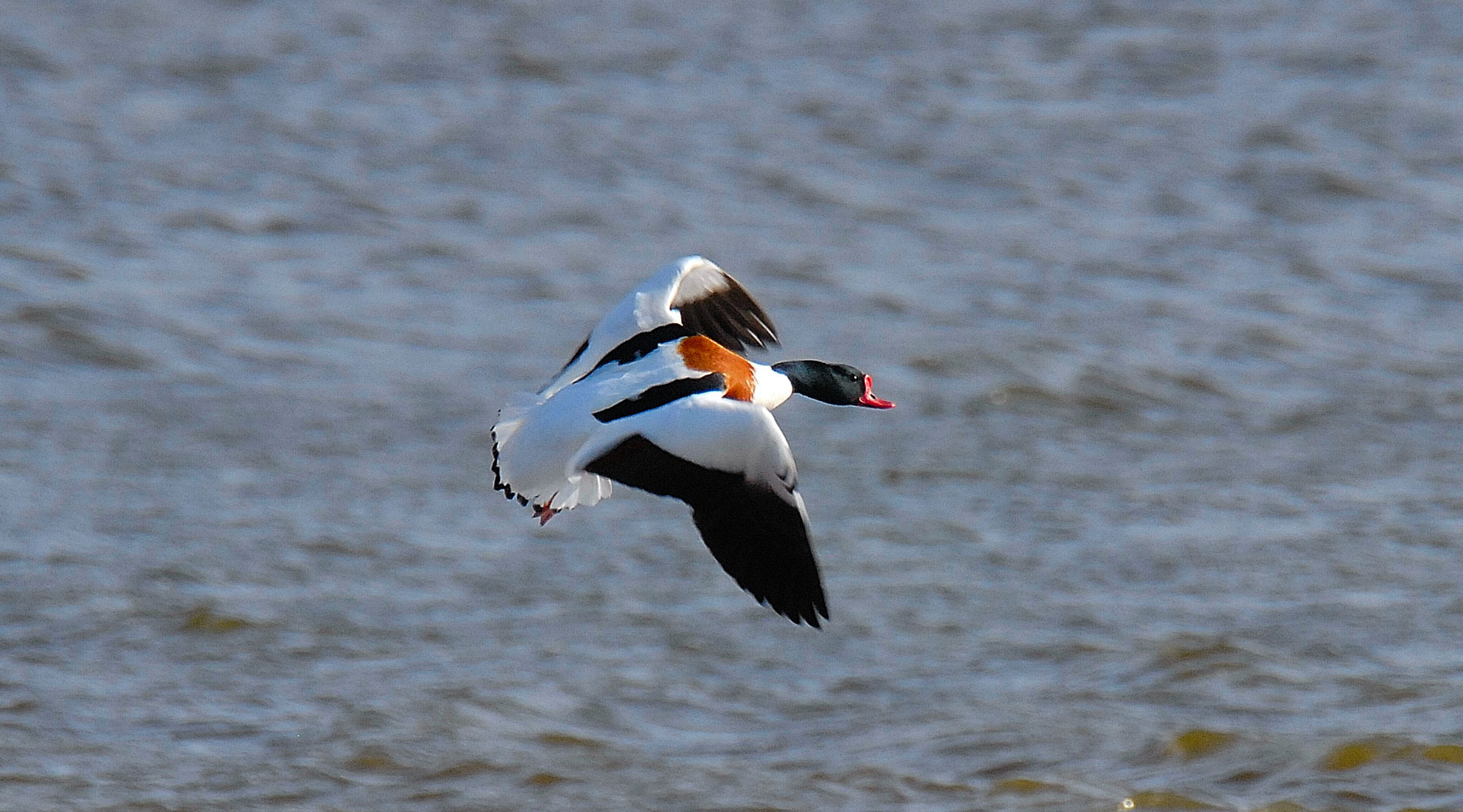 Steve Waterhouse | Shelduck
