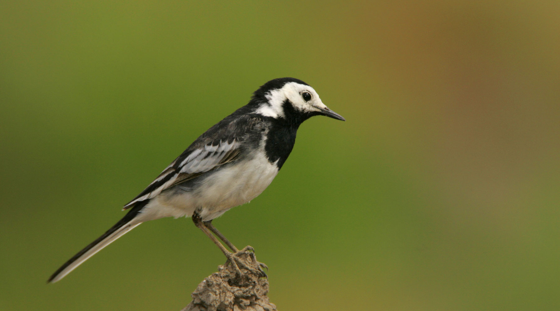 Janet Packham-Photography | Pied Wagtail