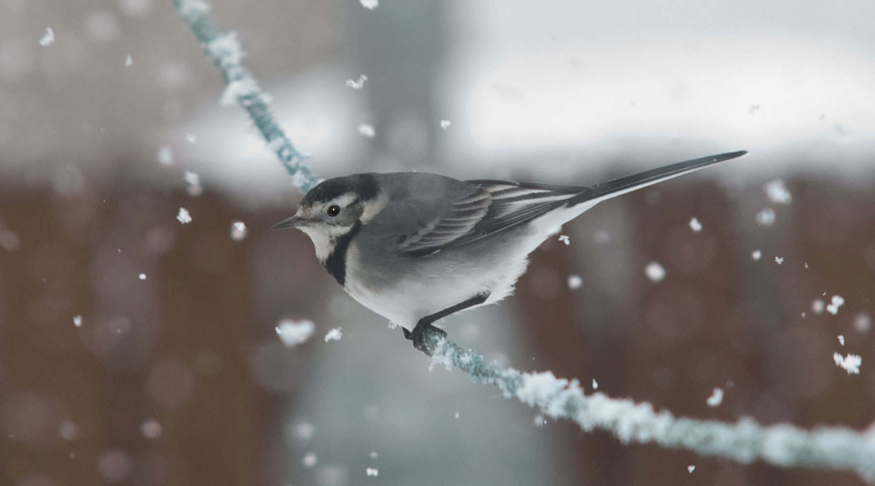 Bob Coyle | Pied Wagtail