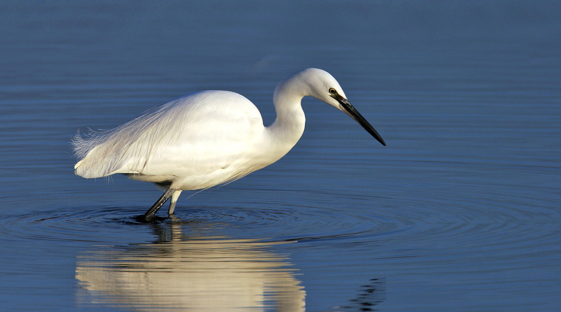 Emyr Roberts  | Little Egret